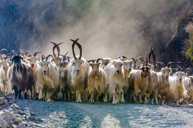 A herd of hundreds of mountain goats being driven down a mountain road in the Tusheti National Park, northeastern Georgia.