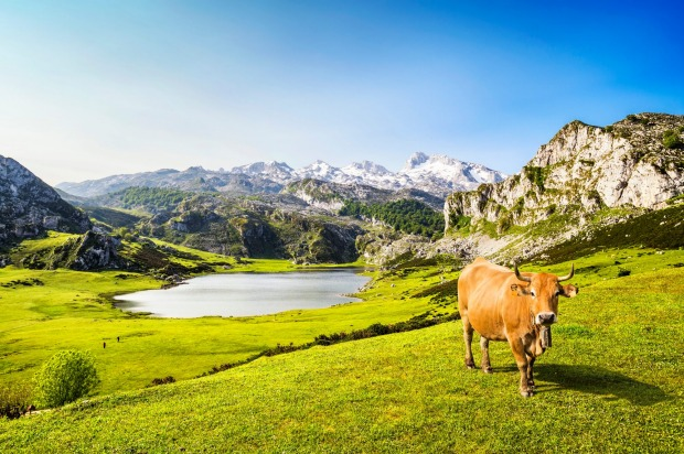 A curious cow wanders around the Ercina lake, Asturias, Spain.