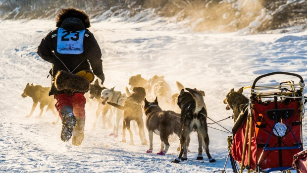 A musher races to tend the lines on his dog team near the start of the Yukon Quest.