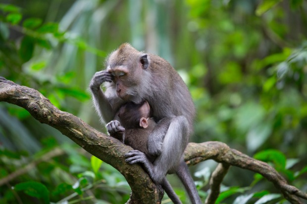 The best of Bali's wildlife, the emotion of a mother Macaque Monkey and her baby - possibly showing the stress of ...