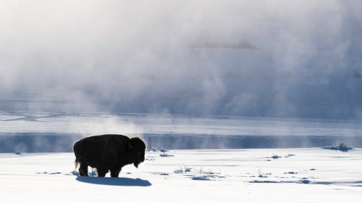 A bison in the mist of Lamar Valley in Yellowstone National Park, Wyoming during winter.