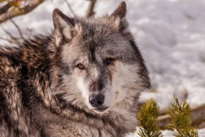 Grey wolves were re-introduced to Yellowstone National Park to try to rebalance an increasingly skewed ecosystem.