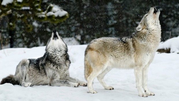 Wolves in Yellowstone.