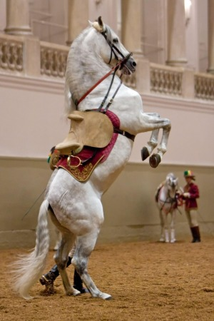 A Lipizzaner stallion struts his stuff.