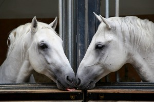 Stallions in the stables.