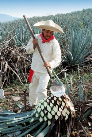 Typical Jimador working in the field of agave industry in Tequila, Jalisco, Mexico.