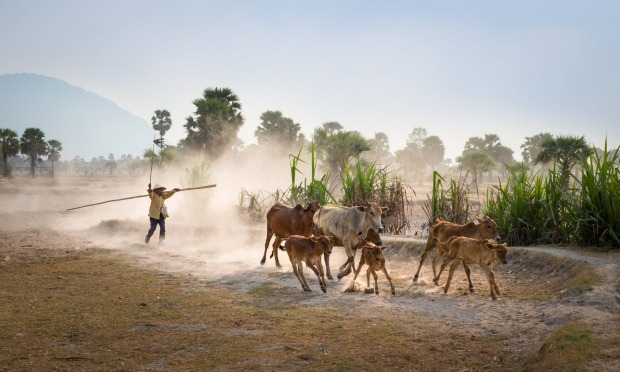 A Vietnamese farmer is driving their cattle to come back home in the late afternoon.