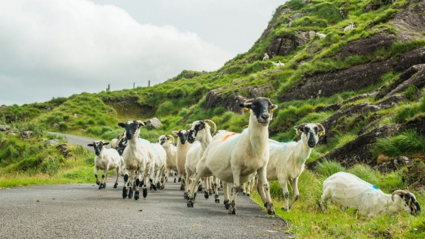 Sheep on the move in Moll's Gap, Wild Atlantic Way in Ireland.