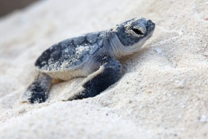 New born sea turtle coming out from the nest.