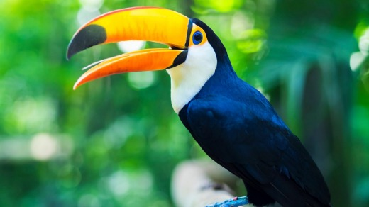 The toucan.