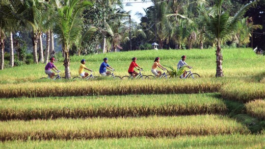 Cycling across the rice paddies near Ubud in central Bali.