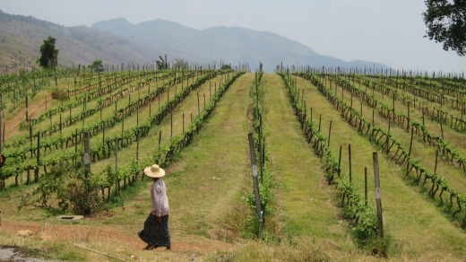 Aythaya Vineyard in north-eastern Myanmar.