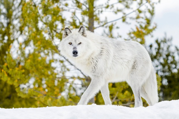 Gray timber wolf walking in snow.