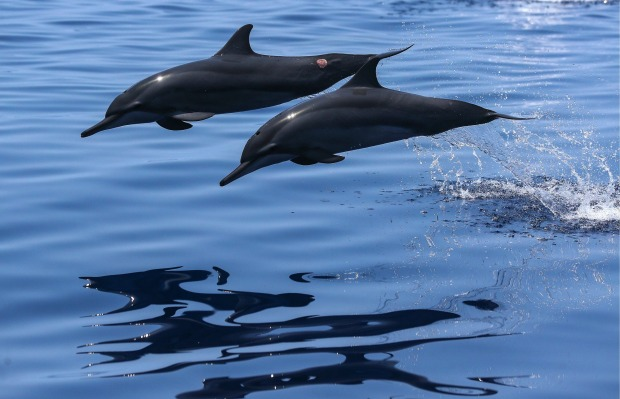 The seas around the Maldives are teeming with dolphins, with many resorts offering both private and group-based morning ...