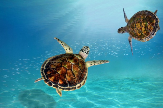 Five of the world's seven species of turtles occur in the Maldives so it's not surprising that one of the signature ...