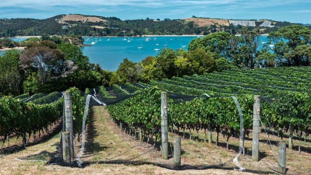 Waiheke Island vineyard and winery. The netting protects the vines from birds who eat and destroy the grapes. The ...