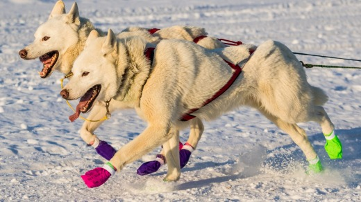 Sled dogs running the Yukon Quest.