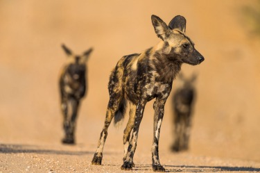 One of Africa's most endangered species, the Cape Hunting Wild Dog. So rare, one can visit the African wild life game ...