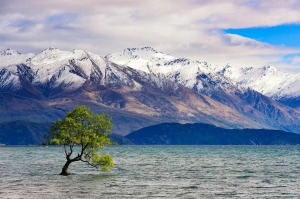 Lake Wanaka and its hardy tree.