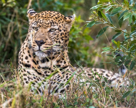 A close up of one of the most elusive big cats in the wild. So lucky we were to track  and follow this male leopard at ...