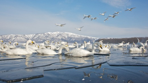 White swans in a partially frozen lake.