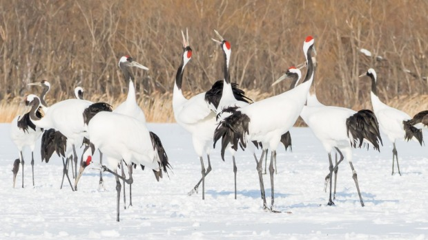 A Festival Of Cranes Bay Nature >> Hokkaido Japan Travel Guide Red Crowned Cranes And Other Natural Gems