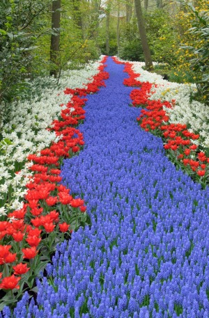 A river of grape hyacinths, tulips and daffodils.