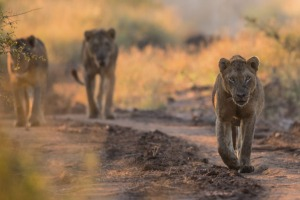 Three young male lions in Kruger National Park.