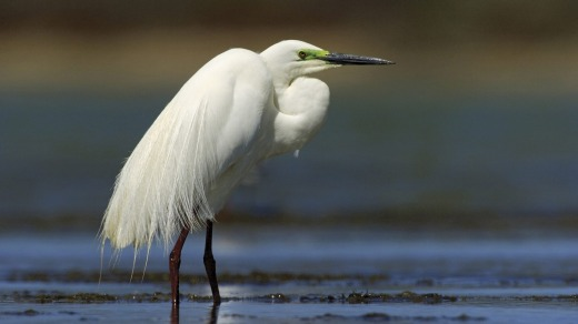 The waters of the Coorong are a haven for birds such as the great egret.