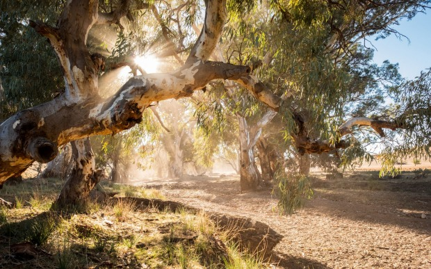 River Red Gums.Driving along the often dusty and corrugated roads of the Flinders Ranges in South Australia, I stopped ...