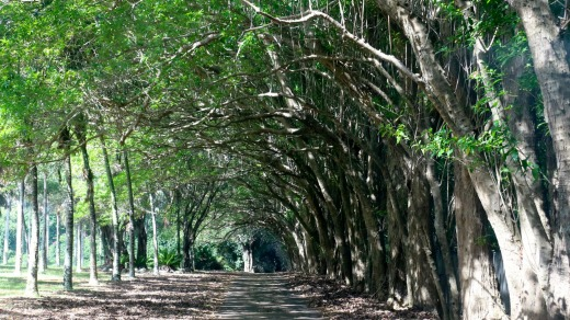 An avenue of trees on Norfolk Island.