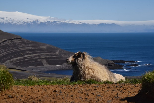 Visiting the volcanic island of Heimaey, Iceland, I was on a puffin seeking excursion. I came upon this sheep calmly ...