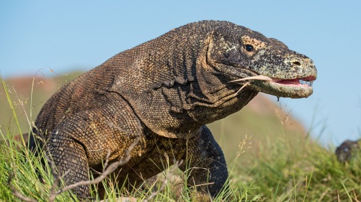 The Komodo dragon is the biggest living lizard in the world.