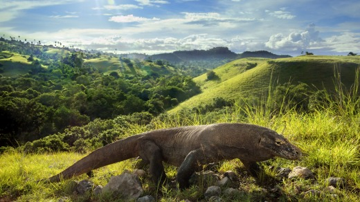 Every morning, Komodo Dragons warm up their bodies to provide them energy for the day.