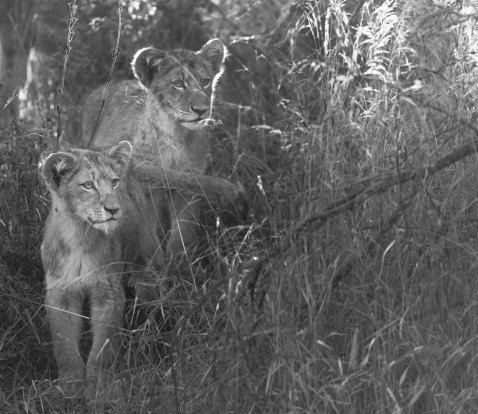 Lion cubs  making their way through the thickets following the pride in the early  morning sunlight. Taken on safari  at ...