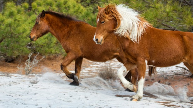 Two of the wild horses at Assateague Island National Seashore in eastern Maryland, USA, run through open, sandy woods.