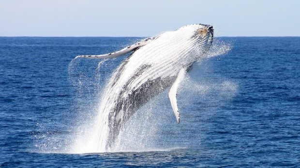 Whales captivate as they migrate along the coast.