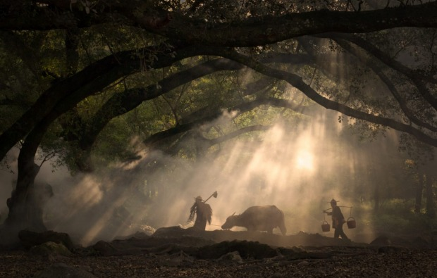 Farmers and their buffalo walking through a forest of banyan trees swirled in mist in a village of Fujian, China.