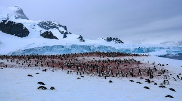 Not everything in Antarctica is white. We were within close proximity to a large colony of Adelie penguins. It was a ...