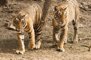 The tour includes a visit to Ranthambore National Park, one of the best places in India to spot Bengal wild tigers.