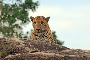 A leopard keeping watch in Yala National Park.