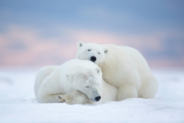 Polar bears at the Arctic National Wildlife Refuge, Alaska.