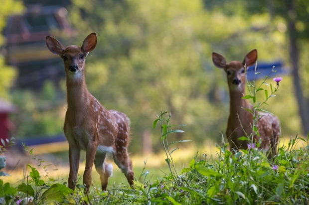 I surprised two young deer while walking on a ski hill in Quebec over the Northern summer. They were very curious before ...