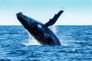 Whale watching is a pursuit that's netting Australia big bucks.