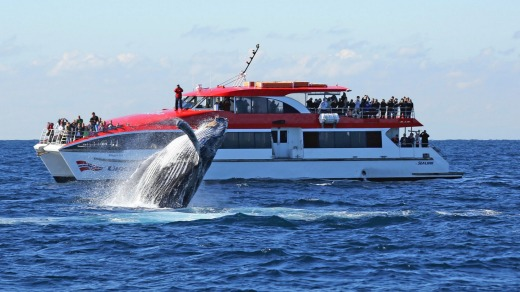 Whale Watching Captain Cook Cruises.