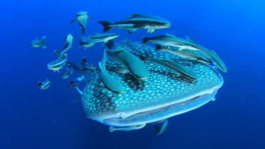Whale shark with remora and cobia fish on Ningaloo Reef.