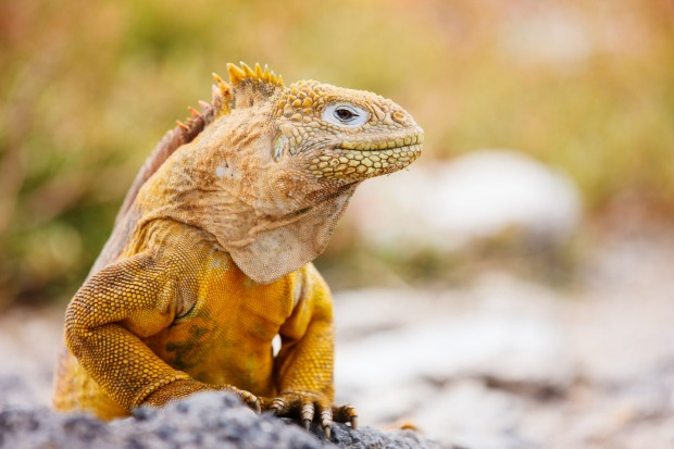GALAPAGOS ISLANDS (ECUADOR) What's so naturally wonderful about this bleak archipelago, 1000 kilometres off the coast of ...