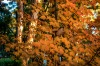 MT WILSON, AUSTRALIA. If you don't have the chance to catch a northern autumn, then parts of the NSW Blue Mountains will ...