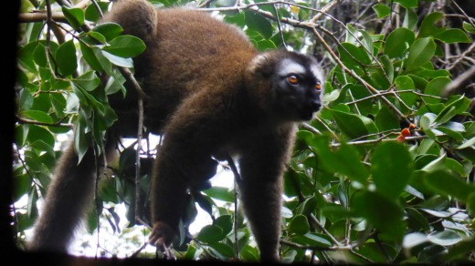 A golden bamboo lemur in the Ranomafana National Park,  Madagascar.