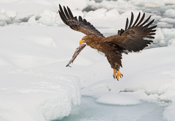 When in Hokkaido, Japan, this February, I was able to see the magnificant white tailed eagle hunting for fish in the sea ...